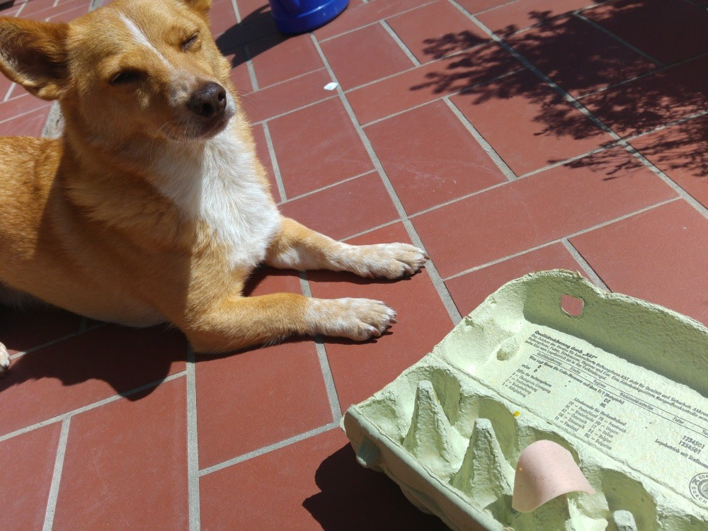 Ein leerer Eierkarton passt hervorragend, um Leckerli zu verstecken - Hundebeschäftigung