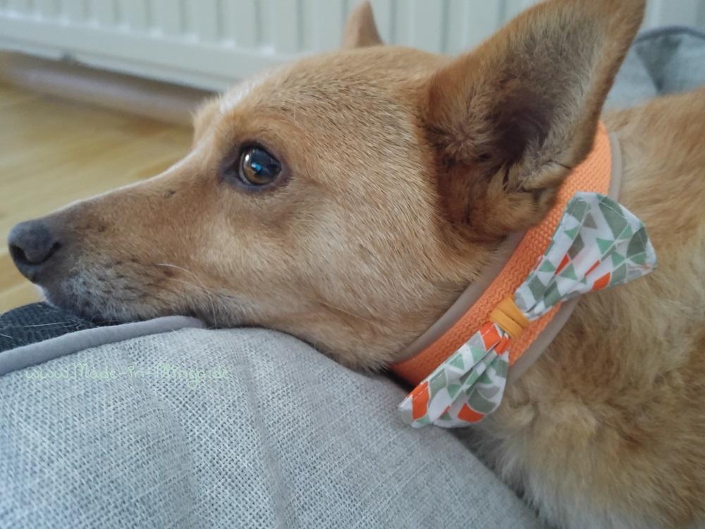 Anprobe. Hundi schaut genervt mit dem neuen Halsband