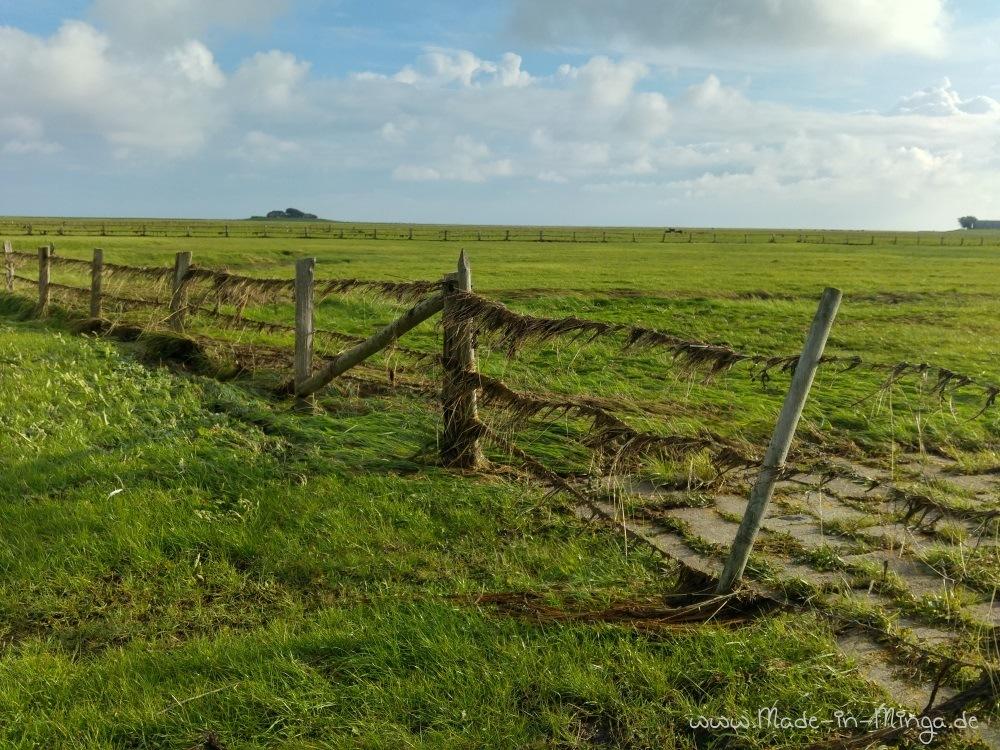Reste von Seegras im Zaun vom letzten Land-unter auf Hallig Langeness