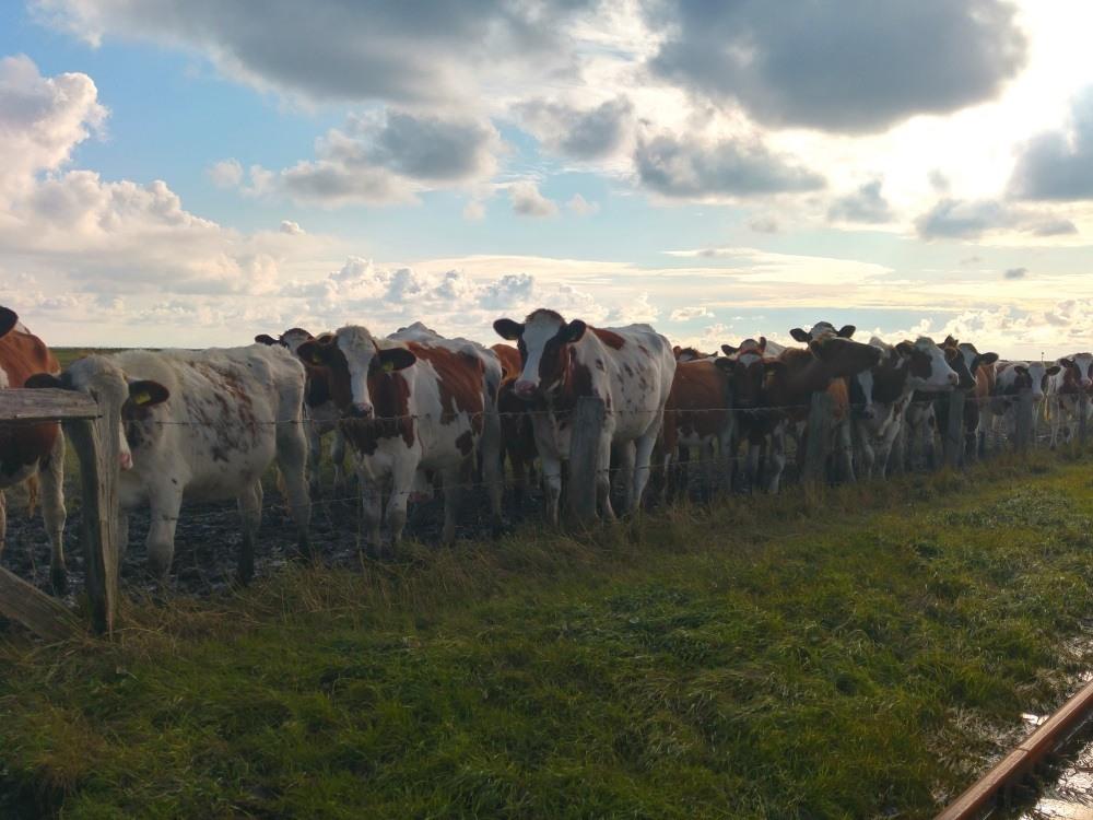 Die Kühe auf Oland warten schon am Zaun auf den Abtrieb