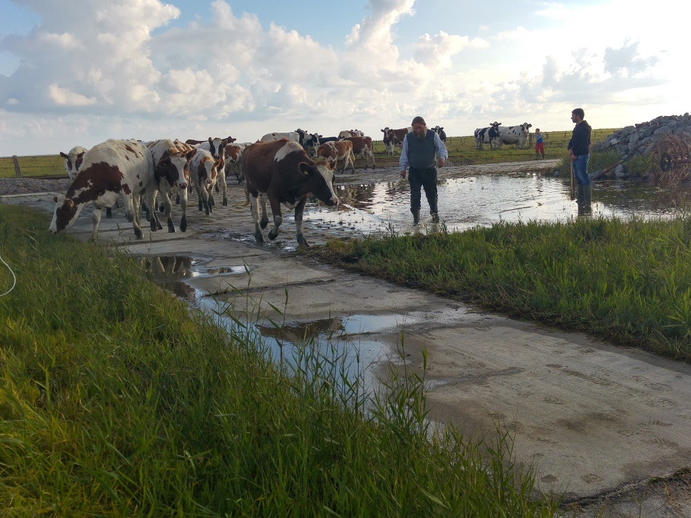 Die Kühe werden zum Deich getrieben