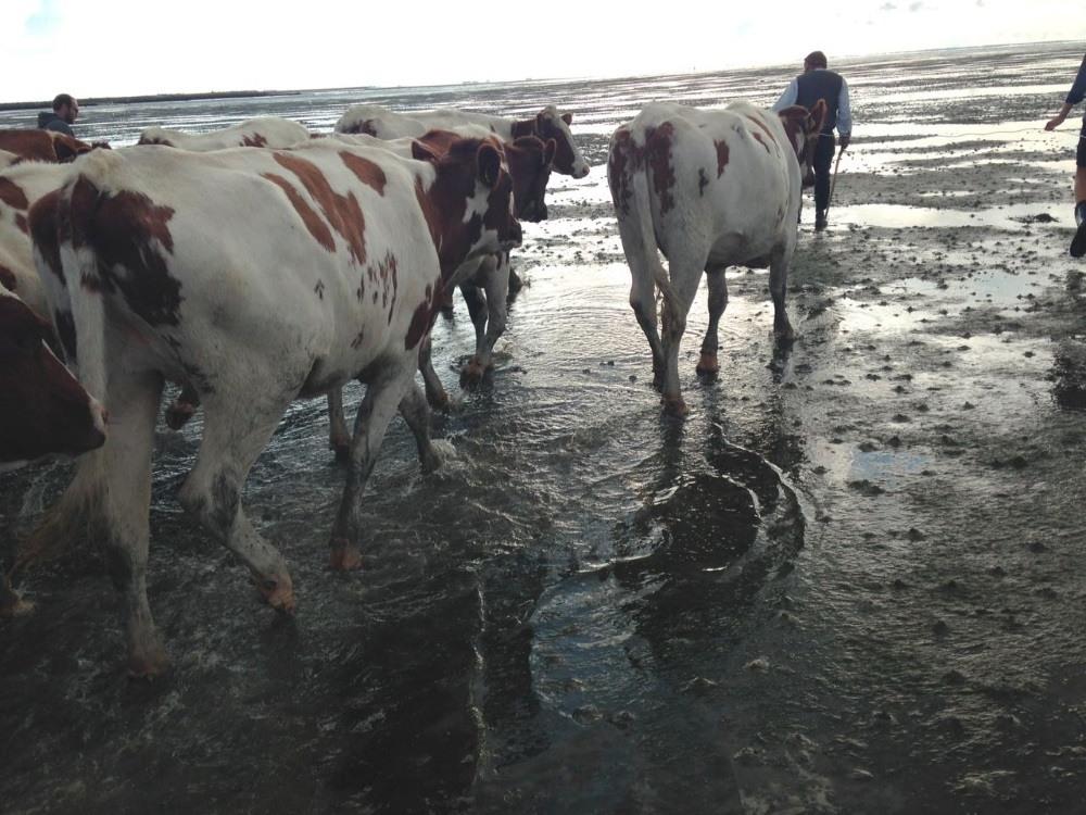 Durch Wasser gehen die Kühe ungern. Geht aber nicht anders, um nach Langeness zu kommen