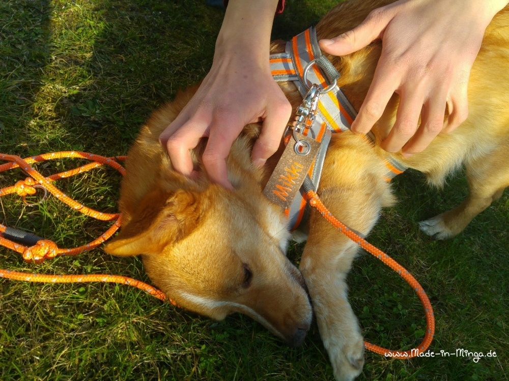 Spieltrieb voraus. Hundi ist egal, was am Geschirr hängt, so lange er gestreichelt wird